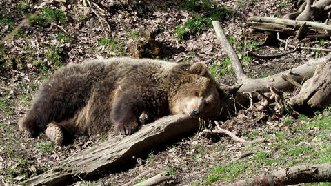 Brown bear sleeping. Bear sleeping on top of a hill in the woods. (ursus arctos) Live Action