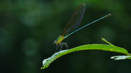 Dragonfly in rain forest Footage