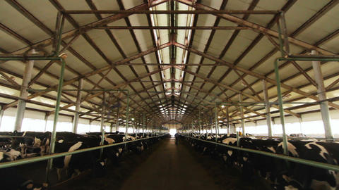large cowshed with cows lines and worker at farm Footage