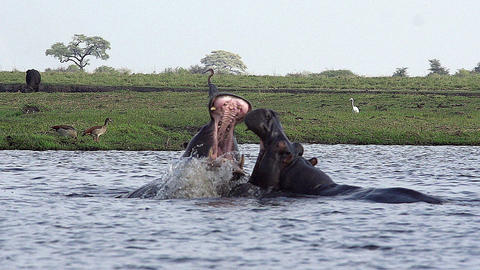 Hippopotamus, hippopotamus amphibius, Adults with Mouth wide open, Threat display, Fighting, Chobe Live Action