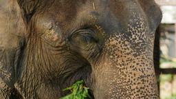 Asian Elephant head Footage