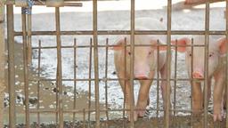 Pigs in pigpen Footage