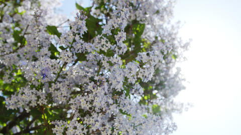 Lilac purple flowers tree natural seasonal Live Action