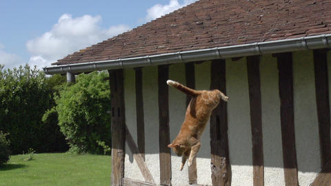 Red Tabby Domestic Cat leaping from Roof, Normandy, Slow Motion Footage