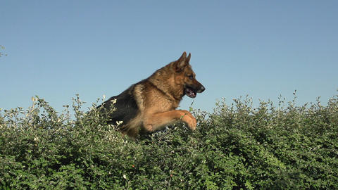 Domestic Dog, German Shepherd Dog, Male jumping above Edge, Normandy, Slow motion Footage