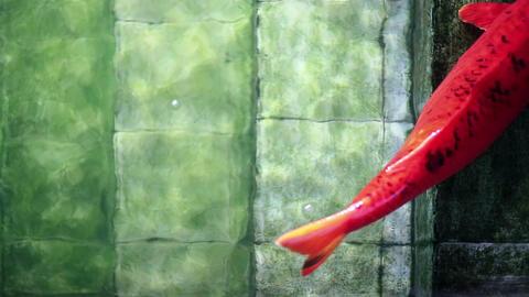 Big red Koi carp fish, resting on old underwater pool stairs Footage