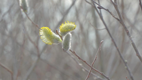 Pussy willow buds sways in wind Footage