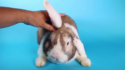 Rabbit Caressing. Bunny pet caress bunny love loving lop Footage