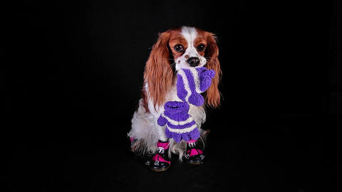 Dog wearing winter shoes. Puppy with shoe Footage