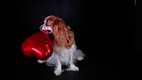 Dog pet valentines day concept. Puppy holding heart balloon Footage