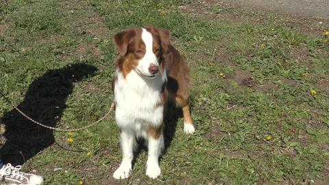 Dog breeds English Shepherd Footage