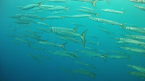 Underwater school of barracudas in Majorca Spain Footage