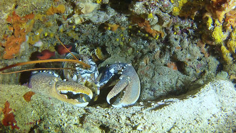 Underwater marine life - Big lobster Footage