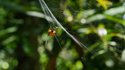 Curved spiny spider (gasteracantha arcuata) eating prey on its web in forest Live Action