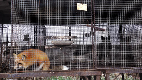 Red foxes in cages Live Action