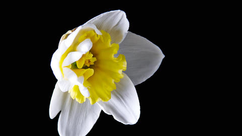 Narcissus Flower Footage