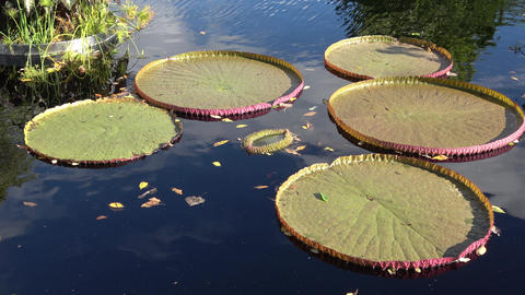 Giant lily pads on water Live Action