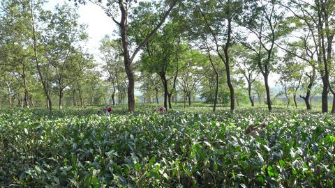 Tea estate Dooars North Bengal-India 4K Footage