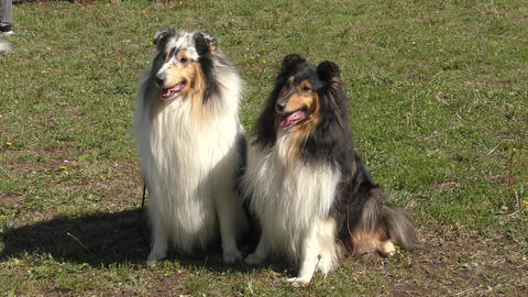 Dog breeds of Collie Stock Video Footage