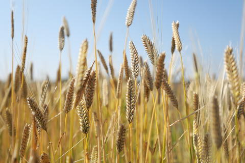 A yellow barley field フォト