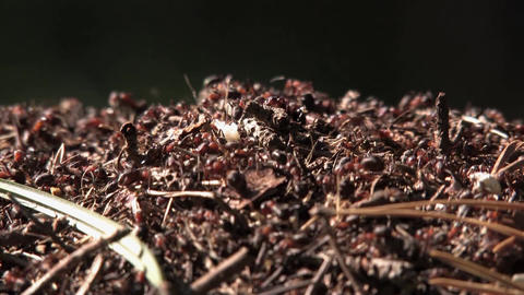 anthill and ants, ants crawling amid the pine needles and twigs Archivo