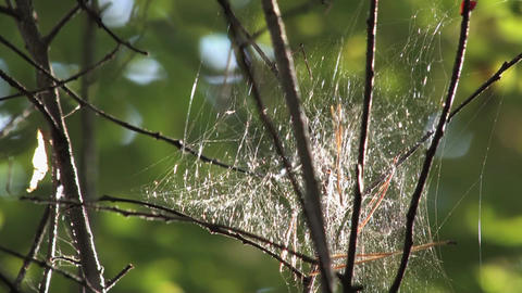 The Cobweb hanging on branches in the woods 2 Live Action