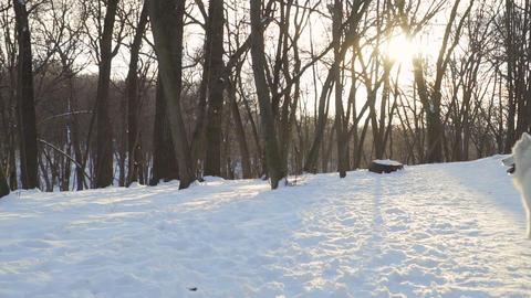 Fluffy Samoyed Dog In Winter Park 0