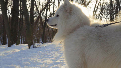 Fluffy Samoyed Dog In Winter Park 1