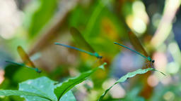 Focus Focal on dragonfly in rain forest Live Action