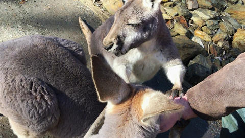 Young Australian western grey kangaroos eating food out of a mans hand, handheld Footage