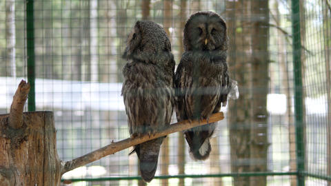Owls on a branch in a cage Footage