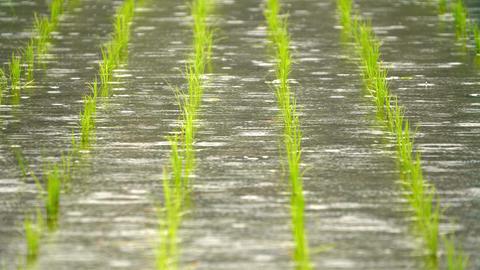 SlowMotion - Rain falling in the paddy field FIX GIF
