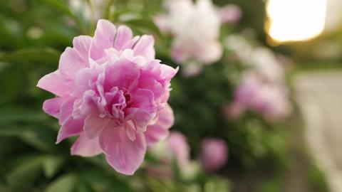 Pink peony petals. Closeup shot Footage