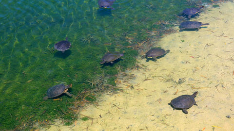 Australian fresh water turtles swimming in the shallows of a large pond Live Action