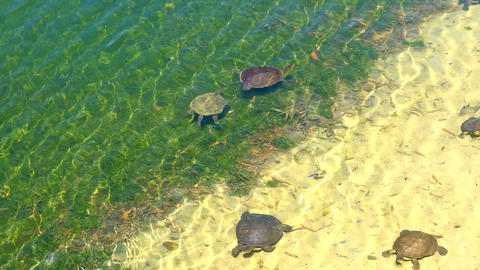 Australian fresh water turtles swimming in the shallows of a large pond, Live Action