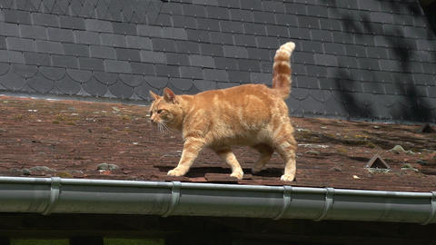 Red Tabby Domestic Cat walking on Roof, Normandy, Real Time Stock Video Footage