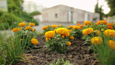 Beautiful blackbringer blooming flowers in springtime Footage