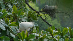 White Egret hatching eggs in a nest on a branch Footage