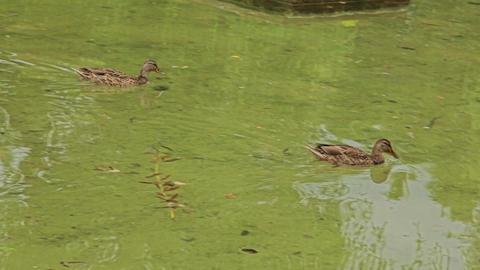 In summer, ducks swim in an artificial pond Footage