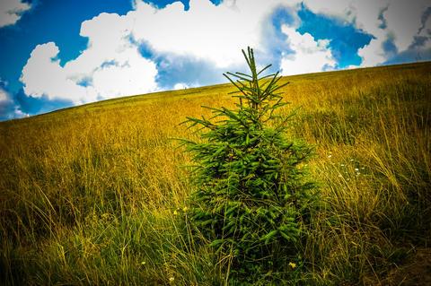 small fir in a field フォト