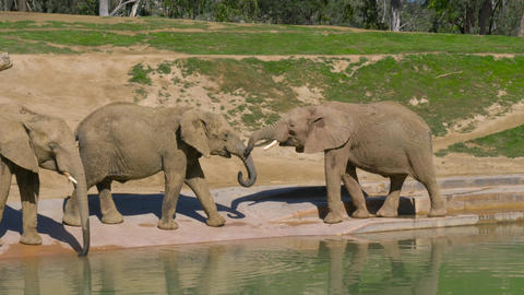 Young elephants play near a watering hole Footage