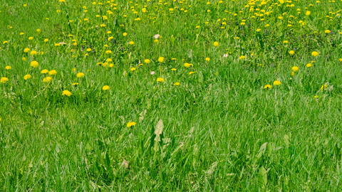 Yellow dandelions and wild flowers blooming on green meadow Footage