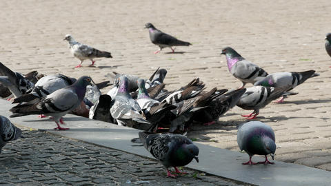 pigeons on the square 4k Footage