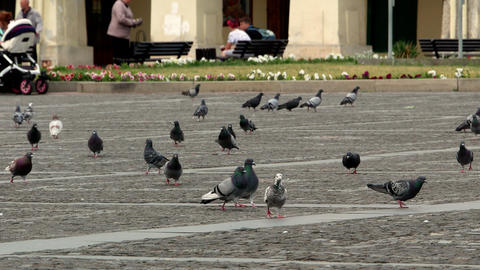 pigeons on the square 4k GIF