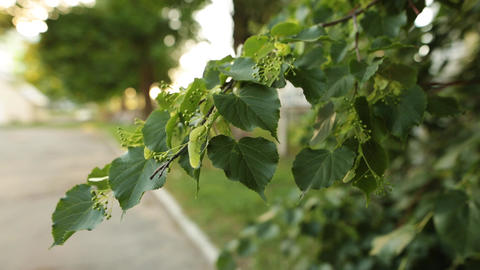 Small linden branch with fresh leaves and flowers with wind blowing Footage