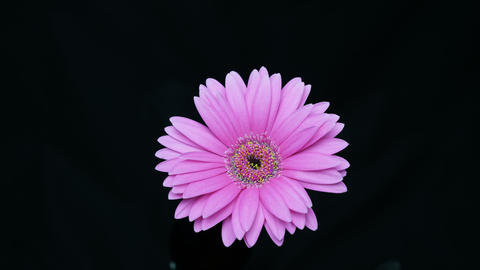 African daisy Footage