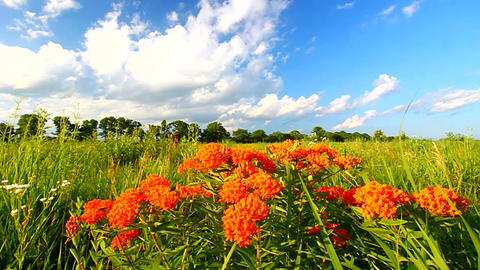 Butterfly Milkweed (Asclepias tuberosa) Footage