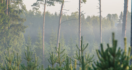 Time lapse of fog flowing through pine tree forest Footage