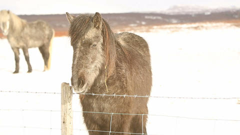 Gray Icelandic pony on a meadow Footage