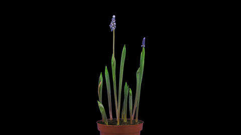 Growing, opening and rotating Muscari Latifolium flowers in RGB + ALPHA matte fo Footage